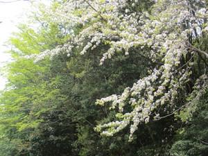 Sakura9_500x375